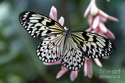 Photograph - White Tree Nymph Butterfly by Sue Harper