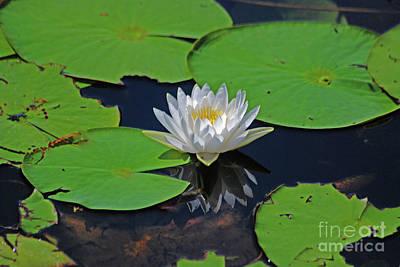 Photograph - 2- White Water Lily by Joseph Keane