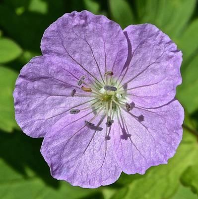 Photograph - Geranium Maculatum 1 by Tana Reiff