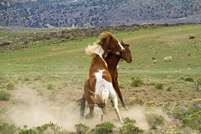Photograph - Wild Mustang Stallions Fighting by Waterdancer