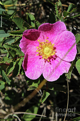 Photograph - Wild Rose by Ann E Robson