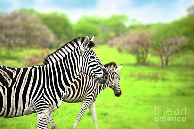 Photograph - Wild Zebras Of African Continent by Anna Om