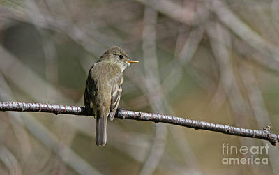 Grey Photograph - Willow Flycatcher by Gary Wing