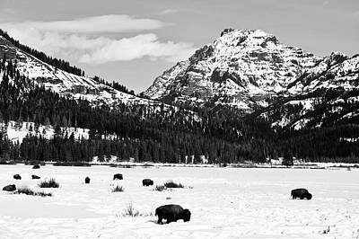Photograph - Winter Bison In Yellowstone by L O C