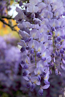 Violet Photograph - Wisteria Blossom by Jessica Jenney