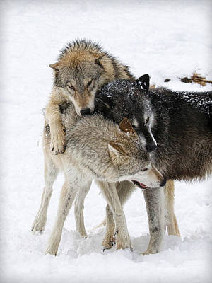 Photograph - Wolf Pack by Steve McKinzie