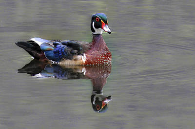 Photograph - Wood Duck by Jean Noren