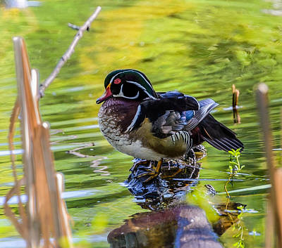 Wood Duck Art Print by Jerry Cahill