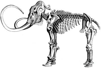 Woolly Mammoth Skeleton Art Print by English School