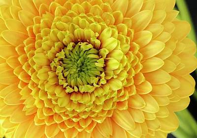 Photograph - Yellow Dahlia by Bruce Bley