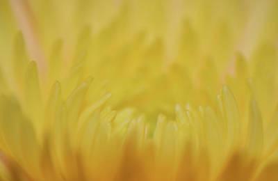 Photograph - Yellow Mum Petals by Larah McElroy