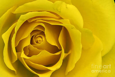 Art Print featuring the photograph Yellow Rose by Adrian LaRoque