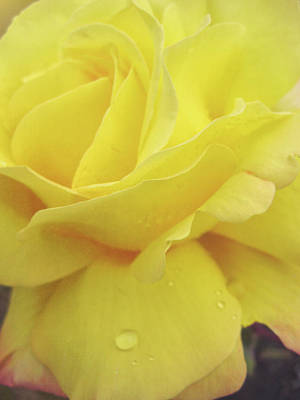Photograph - Yellow Rose by JAMART Photography