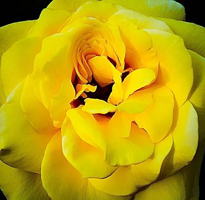 Photograph - Yellow Rose by Paul Wilford