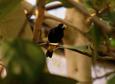 Photograph - Yellow-rumped Cacique by Chris Flees