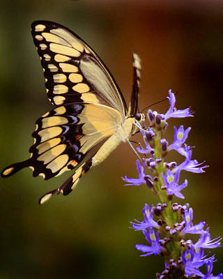 Photograph - Yellow Swallowtail by Joseph G Holland
