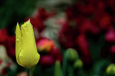 Photograph - Yellow  Tulip by Jay Stockhaus