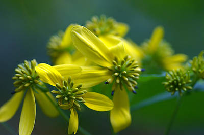 Photograph - Yellow Wingstem by Jack R Perry