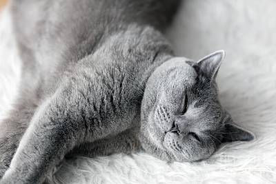 Photograph - Young Cute Cat Sleeping On Cosy White Fur. The British Shorthair by Michal Bednarek