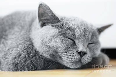 Eye Photograph - Young Cute Cat Sleeping On Wooden Floor. The British Shorthair by Michal Bednarek
