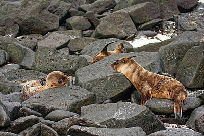 Photograph - Young Galapagos Sea Lions by Sally Weigand