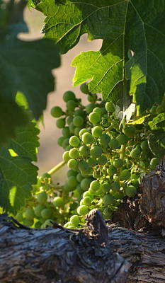 Photograph - Young Grapes On Old Vines by Dean Ferreira
