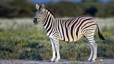 Zebra Digital Art - Zebra by Emma Brown