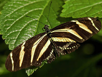 Photograph - Zebra Longwing Butterfly by JT Lewis