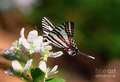 Zebra Swallowtail Original