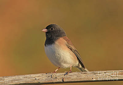 Gold Photograph - Dark-eyed Junco by Gary Wing