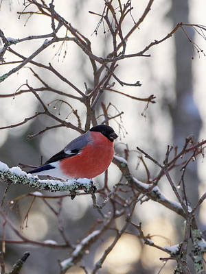 Jouko Lehto Royalty-Free and Rights-Managed Images - Eurasian bullfinch by Jouko Lehto