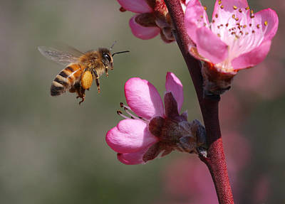 Tree Photograph - Honeybee by Gary Wing