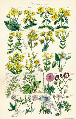 Genus Drawing - Page Of Colour Illustrations From by Vintage Design Pics