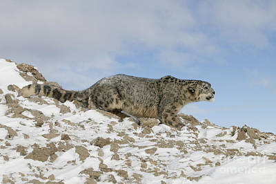 Snow Leopard Art Print by Jean-Louis Klein & Marie-Luce Hubert
