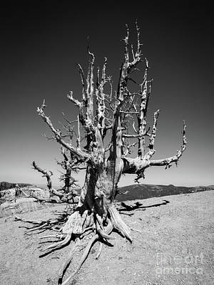 Photograph - 2000 Year Old Bristle Pine Tree Cedar Breaks National Park by Edward Fielding