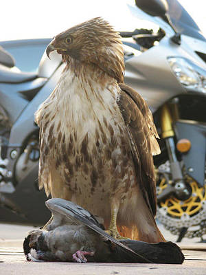 Photograph - 2006 - Red-tailed Hawk 0009 by Ericamaxine Price