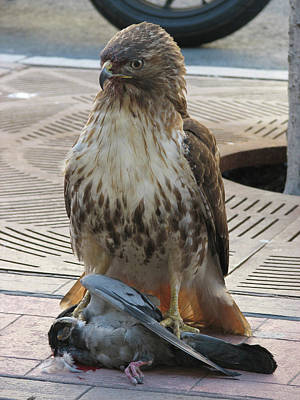 Photograph - 2006 - Red-tailed Hawk 0010 by Ericamaxine Price