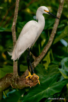 Print featuring the photograph White Egret by Christopher Holmes