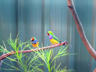 Aussie Rainbow Lovebirds Art Print