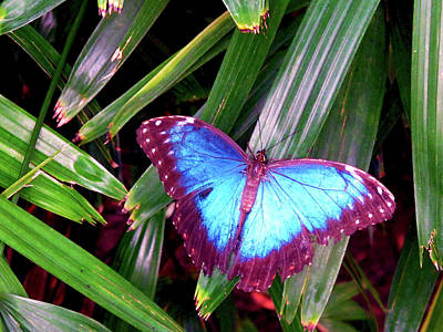 Photograph - Blue Butterfly by Kathy Corday