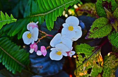 Photograph - 2015 Early September At The Garden Begonias by Janis Nussbaum Senungetuk