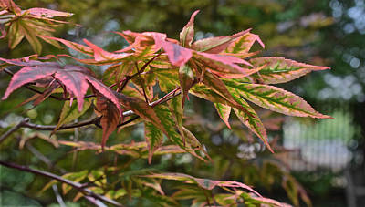 Photograph - 2015 Mid-september At The Garden Japanese Maple 1 by Janis Nussbaum Senungetuk