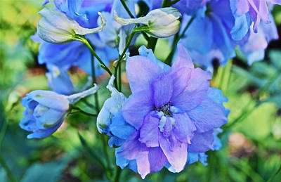 Photograph - 2015 Mid September At The Garden Larkspur 2 by Janis Nussbaum Senungetuk