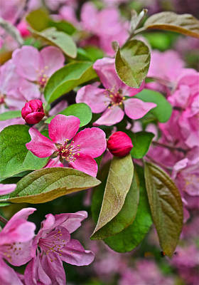 Photograph - 2015 Spring At The Gardens Pink Crabapple Blossoms 2 by Janis Nussbaum Senungetuk