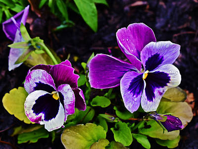 Photograph - 2015 Spring At Olbrich Gardens Violet Pansies by Janis Nussbaum Senungetuk