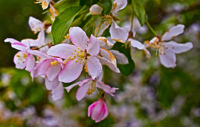 Photograph - 2015 Spring At The Gardens White Crabapple Blossoms 1 by Janis Nussbaum Senungetuk