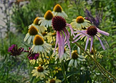 Photograph - 2015 Summer At The Garden Coneflowers by Janis Nussbaum Senungetuk