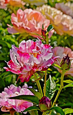 Photograph - 2015 Summer's Eve At The Garden Candy Stripe Peony by Janis Nussbaum Senungetuk