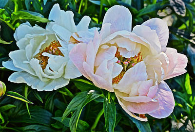 Photograph - 2015 Summer's Eve At The Garden White Peony Duo by Janis Nussbaum Senungetuk
