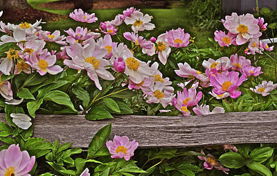 Photograph - 2015 Summer's Eve Front Yard Peonies 1 by Janis Nussbaum Senungetuk